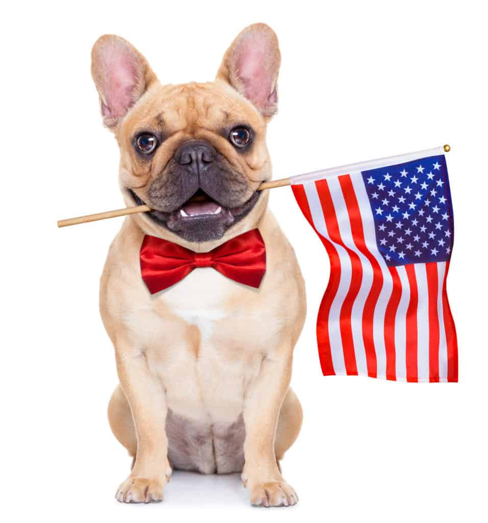 French bulldog holding U.S. flag with mouth