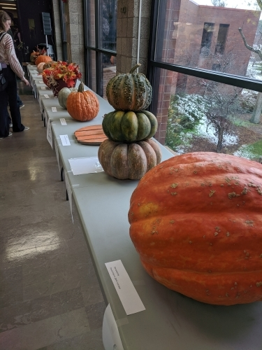 woman looking at pumpkins lined up on tables